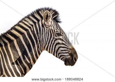 Plains zebra portrait isolated in white background ; Specie Equus quagga burchellii family of Equidae