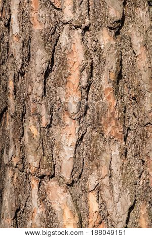 Close-up of a bark of an old tree