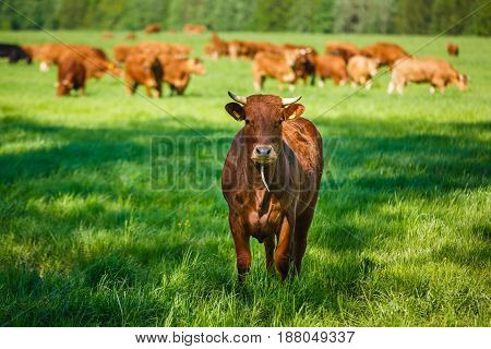 The cows of a Limousin breed on pasture at summer time