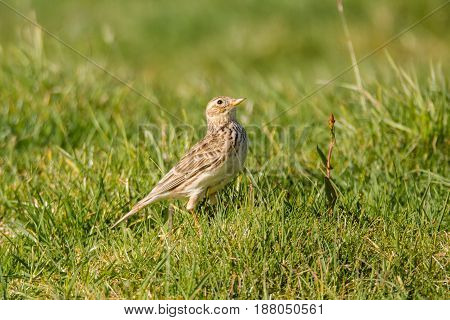 Skylark (Alauda arvensis) on ground looking up. Small brown bird in the family Alaudidae looking skyward