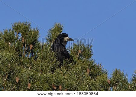 Rook (Corvus frugilegus) resting in a tree top with blue skies in the background
