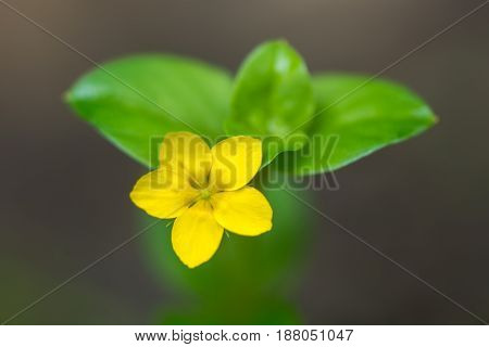 Yellow pimpernel (Lysimachia nemorum) single flower. Low growing woodland plant in the primrose family (Primulaceae) with bright golden yellow flower