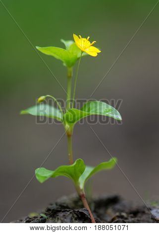 Yellow pimpernel (Lysimachia nemorum) in flower. Low growing woodland plant in the primrose family (Primulaceae) with bright golden yellow flower