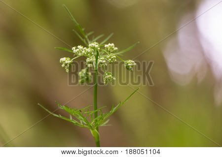 Pignut (Conopodium majus) in flower. Umbel of white flowers of plant is in the carrot family Apiaceae growing in a British woodland