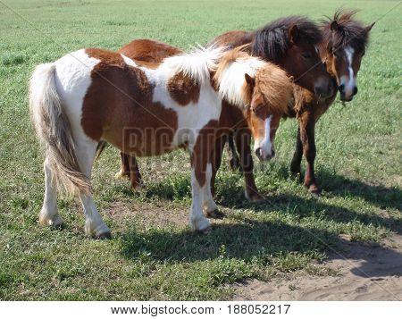 Three domestic pony grazing in a farm