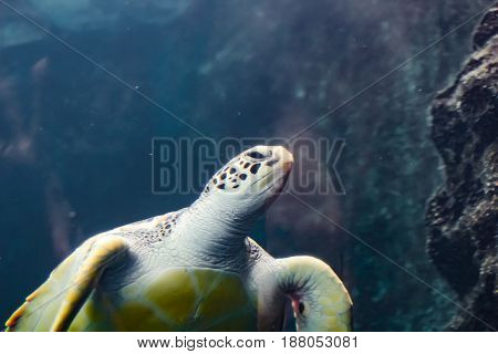 Soft Focus Of Sea Turtle Floating Under Water Surface. Sunbeams Shining On Background. Underwater Sh