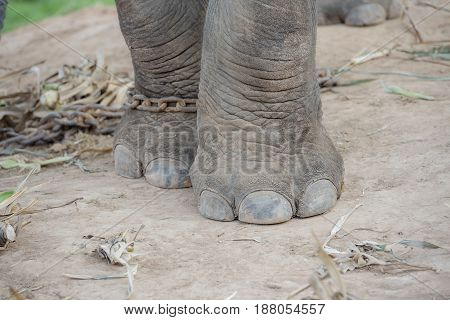 Asian elephant Elephant's leg Elephant with Elephant's leg.