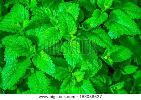 green leaf of young mint for nature backgound
