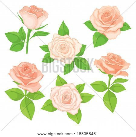 Vector set of realistic, detailed, isolated Rose buds in peach colour with green leaves on white background. Illustration for design on white background.
