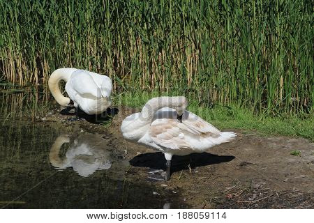 Two mute swans cleaning feathers a background of green reed.