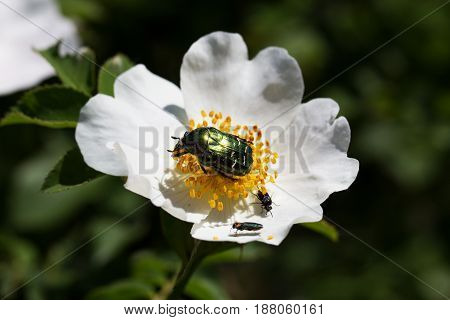 Green Rose Chafer (Cetonia Aurata) is feeding on a flowers. The may beetle basks in the sun on a flower of wild rose poster