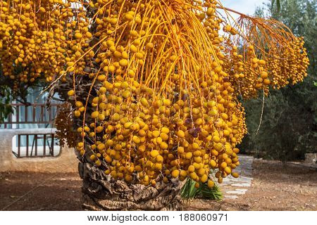 Many fruits on the branches of the date palm