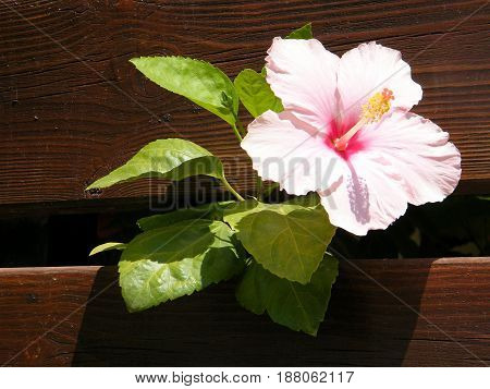 Flower of Hibiscus in Neve Monosson near Or Yehuda Israel