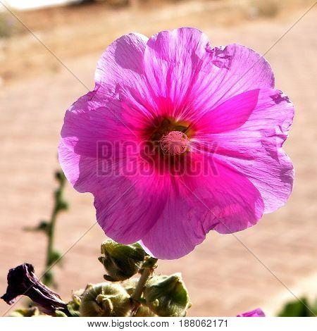 Beautiful Bristly hollyhock flower isolated in Savyon Israel