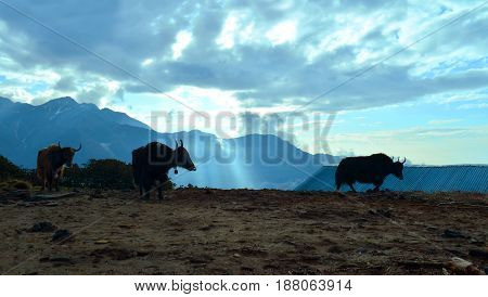 Yaks and beautiful sunrise in Himalayan mountains. Nepal, Annapurna region.