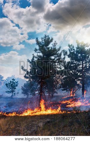 Forest fire. fallen tree is burned to the ground a lot of smoke when wildfire