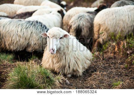White sheep looking at the camera. Flock of sheep. Carpathian mountains.