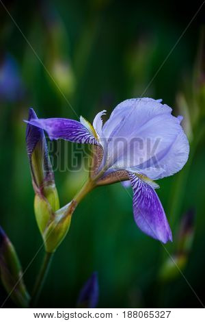 Iris flower blue with purple petals on a outdoors