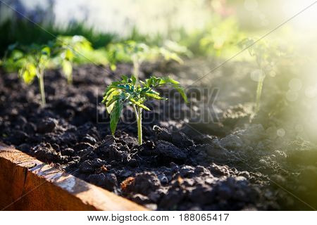 Seedlings of tomatoes grow in the ground in early spring