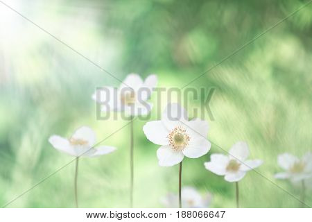 Beautiful anemone flowers on a gentle background. Selective soft focus