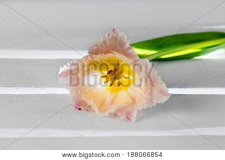 Light rose coloured single tulip on a white wooden underground with shining light.
