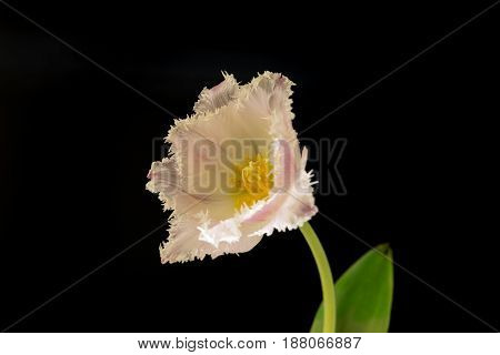 Light rose coloured single tulip in front of black background.