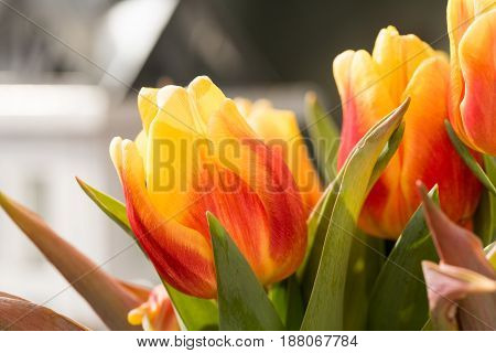 Orange Tulip Blossoms with green leaves in High Resolution - Macro.