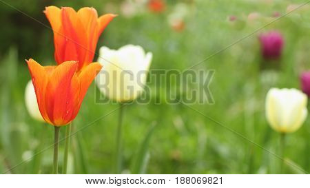 Flowers Red Tulips on green background close to