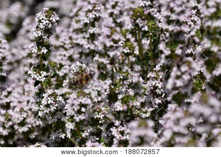 Thymus serpyllum aromatic plant in fool blossom with small light purple flowers