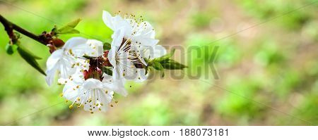 Blossoming Flowers Of Fruit Apricot Trees With Selective Focus And Shallow Depth Of Field, Artistic
