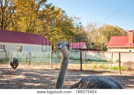 African Ostrichs (struthio Camelus)