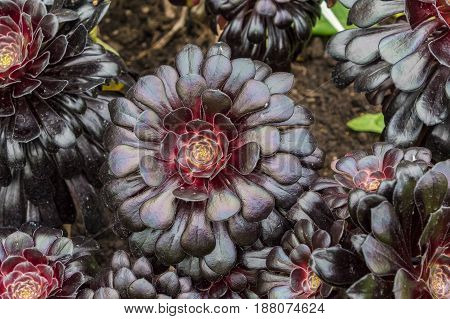 Aeonium Arboreum (Zwartkop) The flower has rosettes of burgundy-black leaves at the ends of stalk stems