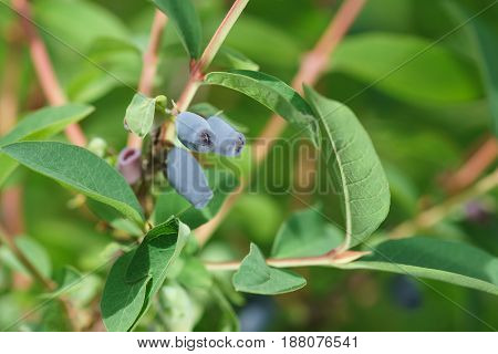 Ripe blue berries of edible honeysuckle (lat. Lonicera caerulea) growing on a branch