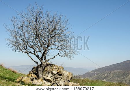 Lonely tree in the mountains. Among the stones.
