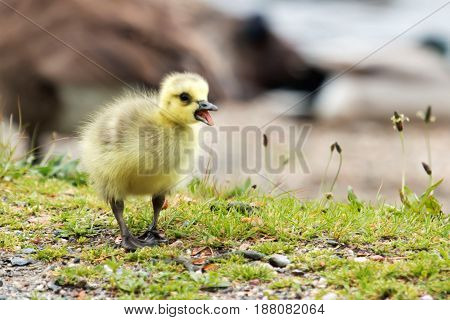 Cute gosling walking away from mom with his beak open and sticking out his tongue