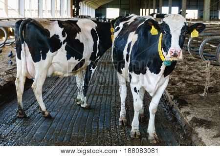 Black and white cows in modern cowshed, Dairy farm production