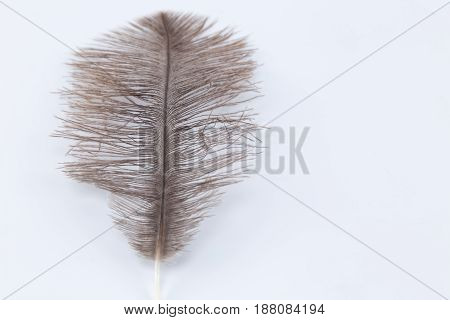 Light Brown Ostrich Feather Isolated On White Background