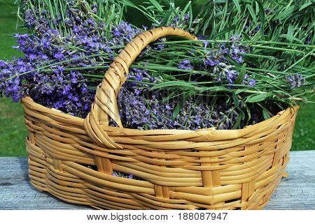 Fresh lavender in a basket recently harvest from the garden