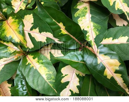 Fresh Caricature plant - natural leave background (Graptophyllum pictum)