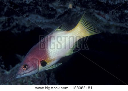 A Coral Hogfish, wrasse (Bodianus mesothorax) swims along a reef in the Kwajalein Atoll in the Pacific
