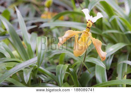 Thai orchid Paphiopedilum gratrixianum Lady's Slipper orchid lady slipper slipper orchid