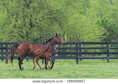 Mare and Foal Run Side By Side in Green Field