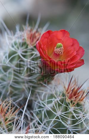 Needles And Bloom Of Claret Cup Cactus Vertical