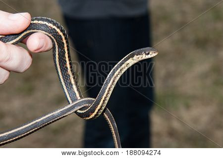 A garter snake being held and looking