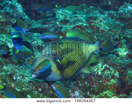 Titan triggerfish in the cleaning station in the coral reef poster