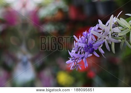 Beautiful violet sandpaper vine flowers in colorful background