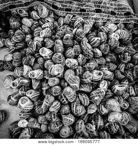 Snail (Helix pomatia). Background. Black and white.