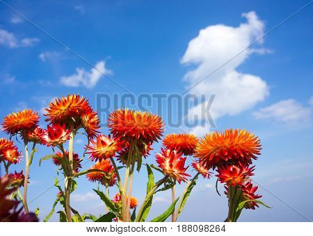 View from below of beautiful bouquet of colorful dry straw flowers or everlasting over blue sky with clouds. Outdoor at the daytime on summer day. (Helichrysum bracteatum)