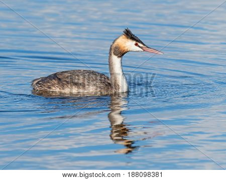The Great Crested Grebe (Podiceps cristatus) is a member of the grebe family of water birds and is found in Europe, Africa, Asia and Australia.