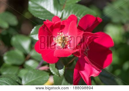 Red flower of a dogrose on a background of green leaves closeup